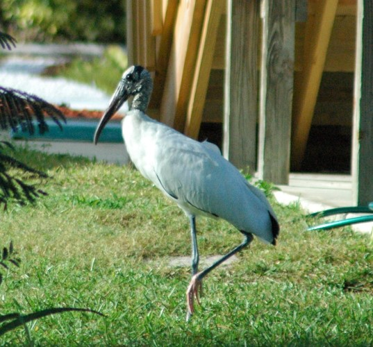 Wood stork in Bokeelia, FL. Copyright Kelly Dean