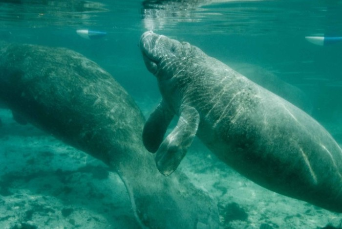 manatees_swimming-custom