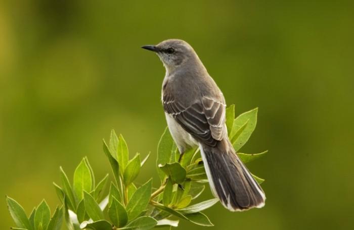 mockingbird-custom