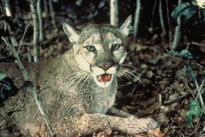 Florida_Panther U.S. Fish and Wildlife Service, Public Domain (Custom)