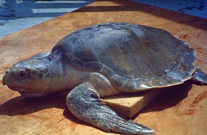 Sea_Turtle NASA (Custom)