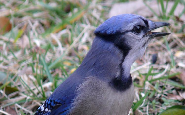 To Kill A Blue Jay Symbolism In Harper Lees Masterwork